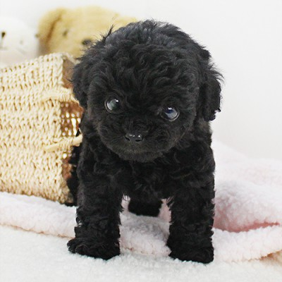 """<font style=""""font-size:13px; font-weight:bold;"""">Black Poodle</font> <font style=""""font-size:12px; color:#c9c9c9;"""">l Can</font>"""