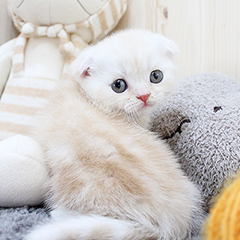 """<font style=""""font-size:13px; font-weight:bold;"""">Scottish Fold</font> <font style=""""font-size:12px; color:#c9c9c9;"""">l Coriander</font>"""