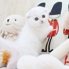 """<font style=""""font-size:13px; font-weight:bold;"""">Scottish Fold</font> <font style=""""font-size:12px; color:#c9c9c9;"""">l Hanyang</font>"""