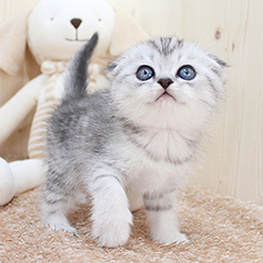 """<font style=""""font-size:13px; font-weight:bold;"""">Scottish Fold</font> <font style=""""font-size:12px; color:#c9c9c9;"""">l Meat</font>"""
