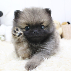 """<font style=""""font-size:13px; font-weight:bold;"""">Pomeranian</font> <font style=""""font-size:12px; color:#c9c9c9;"""">l Spinach</font>"""