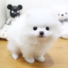 """<font style=""""font-size:13px; font-weight:bold;"""">Pomeranian</font> <font style=""""font-size:12px; color:#c9c9c9;"""">l Leon</font>"""