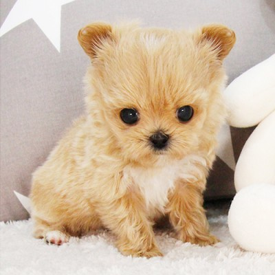 """<font style=""""font-size:13px; font-weight:bold;"""">Maltipoo</font> <font style=""""font-size:12px; color:#c9c9c9;"""">l Muffins</font>"""