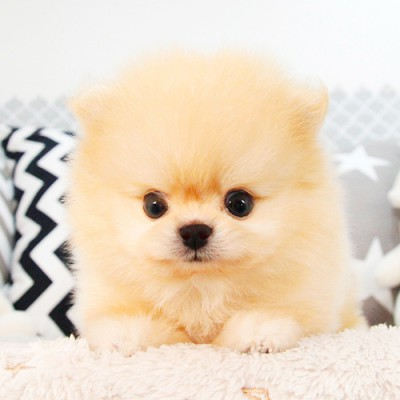 """<font style=""""font-size:13px; font-weight:bold;"""">Pomeranian</font> <font style=""""font-size:12px; color:#c9c9c9;"""">l Tangerine</font>"""