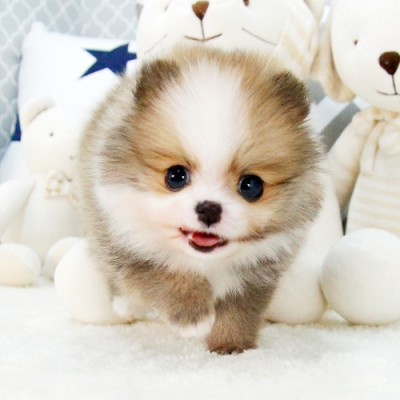 """<font style=""""font-size:13px; font-weight:bold;"""">Pomeranian</font> <font style=""""font-size:12px; color:#c9c9c9;"""">l Romeo</font>"""