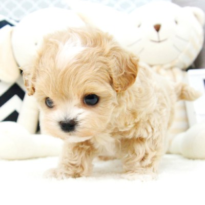 """<font style=""""font-size:13px; font-weight:bold;"""">Maltipoo</font> <font style=""""font-size:12px; color:#c9c9c9;"""">l Brody</font>"""